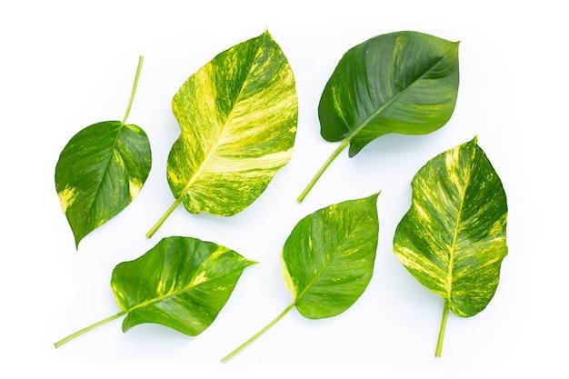 Pothos dorato o foglie di edera del diavolo su superficie bianca