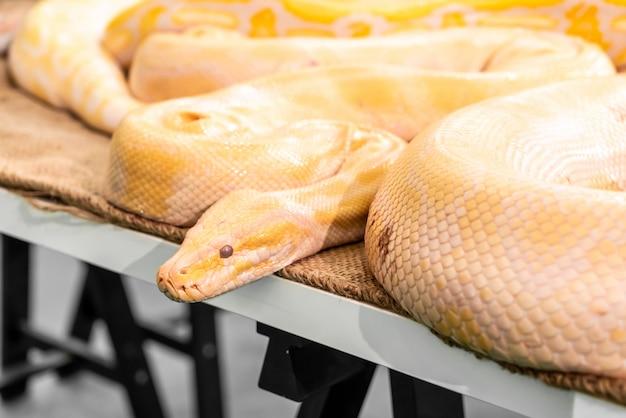 Pitone dorato in zoo