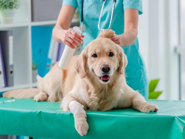 Esame dell'orecchio del cane golden retriever dal medico durante l'appuntamento in clinica veterinaria