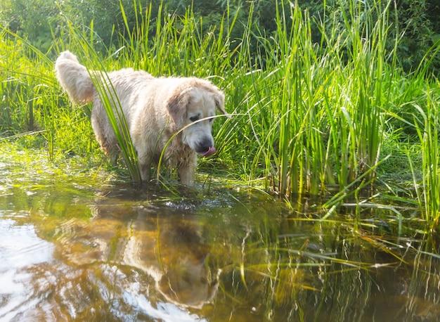 Golden retriever cane all'aperto in una giornata di sole.