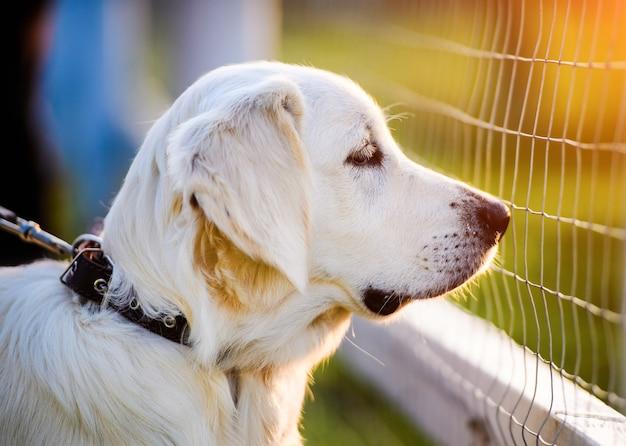Cucciolo di cane golden retriever nel parco