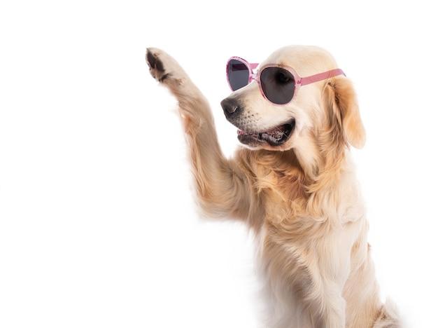 Cane golden retriever indossando occhiali da sole in cornice rosa con zampa sollevata isolato su bianco