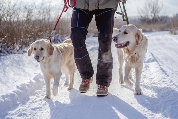 Cani golden retriever sulla natura invernale
