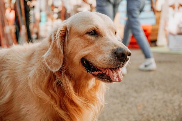 Golden retriever. ritratto di un animale domestico al festival dell'animale domestico della città. giornata di sole estivo