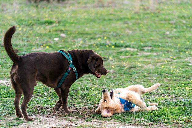 Cucciolo di cane di golden retriever che gioca con il grande labrador retriever del cioccolato