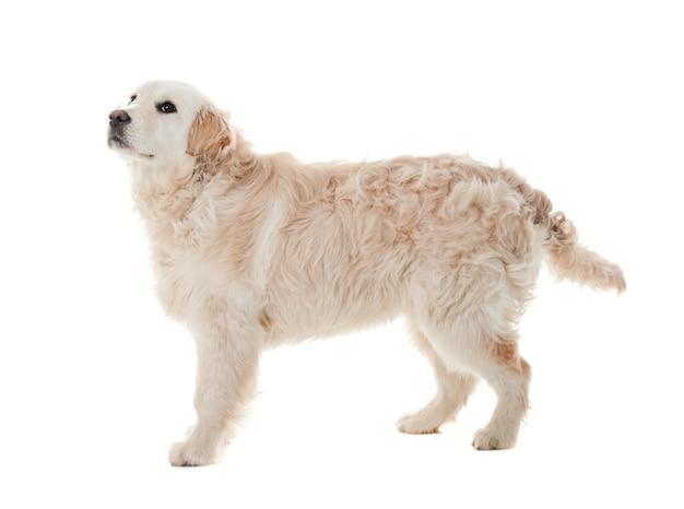 Cucciolo di golden retriever isolato su bianco