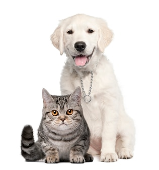Cucciolo di golden retriever seduto accanto a un british shorthair