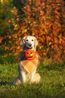 Il golden retriever con la bandana a scacchi si siede nel parco e tiene il secchio di halloween