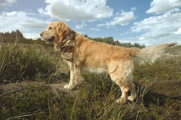 Golden retriever con una sciarpa intorno al collo sullo sfondo della foresta e del cielo