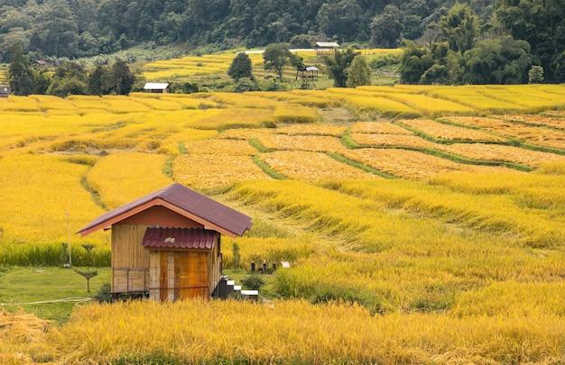 Campo di riso dorato al villaggio di mae klang luang a chiang mai, thailandia.