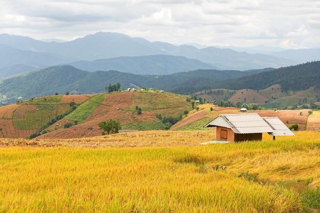 Campo di riso dorato al villaggio di pa bong piang a mae cham, chiang mai, thailandia.