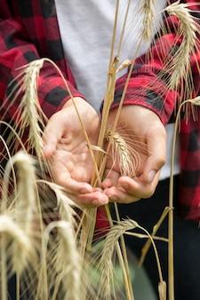 Spighe di grano maturo dorato nelle mani di giovani agricoltori