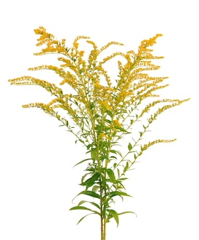 Golden solidago virgaurea fiori isolati su sfondo bianco. cespugli di ambrosia o ambrosia artemisiifolia. pianta medicinale a base di erbe.