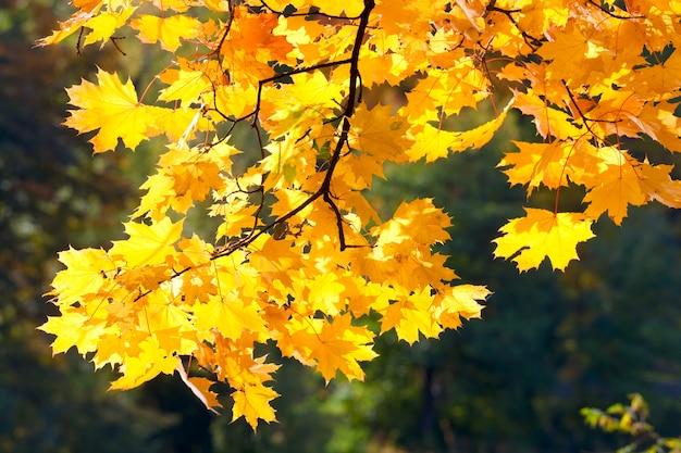 Fogliame dorato dell'albero nel parco cittadino autunnale