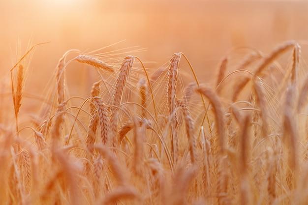 Orecchie di grano dorato o primo piano di segale. un fresco raccolto di segale. campo di grano sotto la luce del sole splendente. gambo con semi per pane ai cereali. crescita del raccolto di agricoltura.