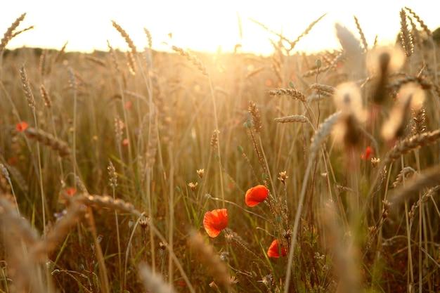 Campo di grano dorato con fiori di papaveri rossi nel raggio del tramonto bella serata al campo della fattoria