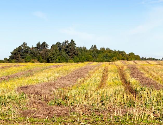 Tracce gialle e dorate e paglia sul campo dopo la raccolta della colza