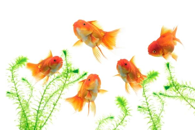 Pesce rosso in acquario con piante acquatiche verdi su sfondo bianco