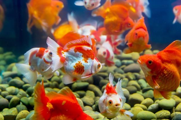 Pesci rossi in acquario con piante verdi, intoppo e pietre