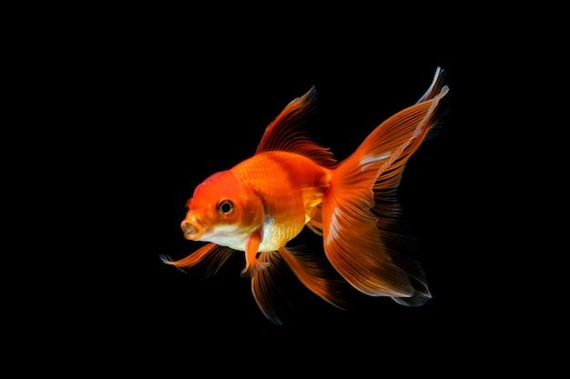 Pesce rosso isolato su uno sfondo scuro