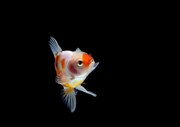 Goldfish isolato su uno sfondo nero scuro. diverso colorato carassius auratus in acquario