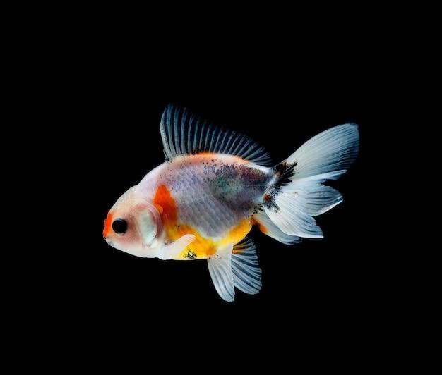 Goldfish isolato su uno sfondo nero scuro