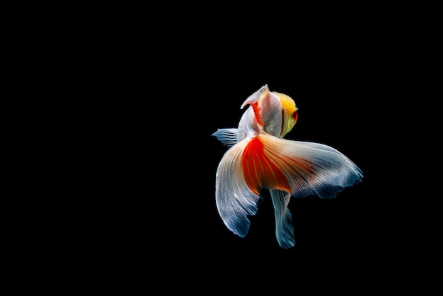 Goldfish isolato su uno spazio nero scuro. diverso colorato carassius auratus in acquario