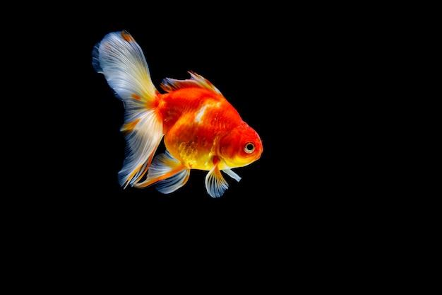 Goldfish isolato su uno spazio nero scuro