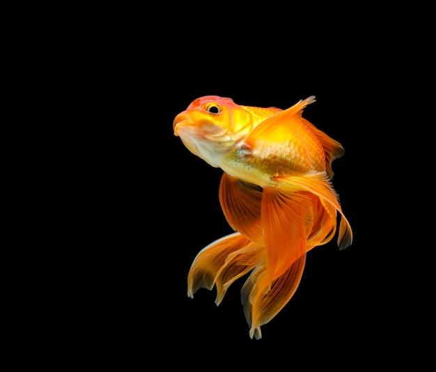Goldfish isolato su una superficie nera scura