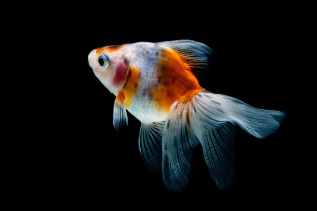 Goldfish isolato su un nero scuro