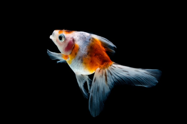 Goldfish isolato su un nero scuro