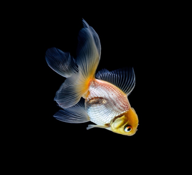 Goldfish isolato