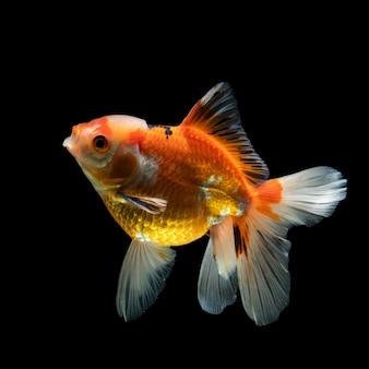 Goldfish pesce d'argento su sfondo nero