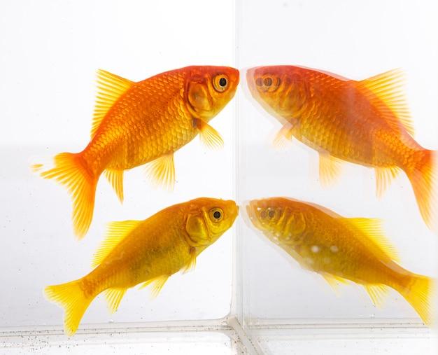 Goldfish in bianco isolato