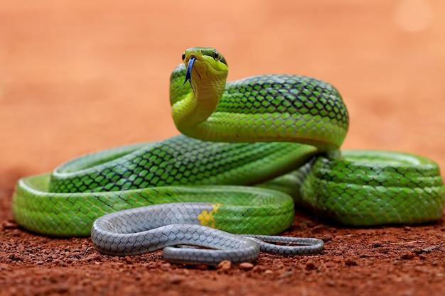 Gonyosoma oxycephalum, serpente di ratto verde sul terreno