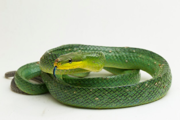 Gonyosoma oxycephalum, il ratsnake verde dalla coda rossa, su fondo bianco.