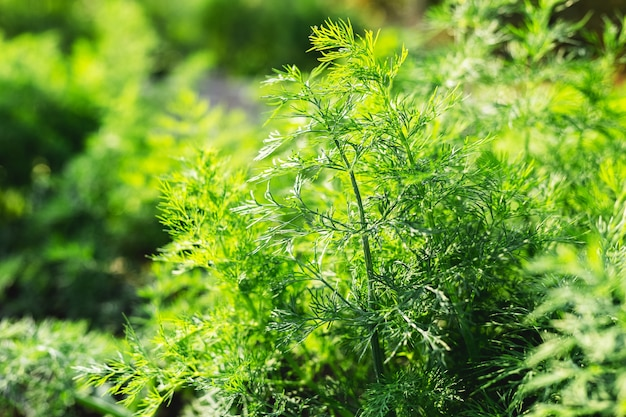 Buon aneto biologico verde nel giardino del contadino per il cibo. le giovani piante di aneto crescono in piena terra.