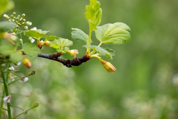 Ramo di uva spina con fiore. sfondo sfocato