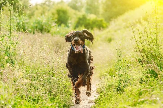 Gordon setter cane che corre con la lingua fuori sulla natura estiva