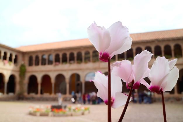 Splendidi fiori rosa che sbocciano nel cortile del convento di santo domingo nel tempio di qoricancha, cusco, perù