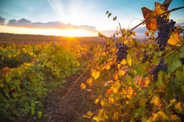 Splendido tramonto sulle splendide viti verdi
