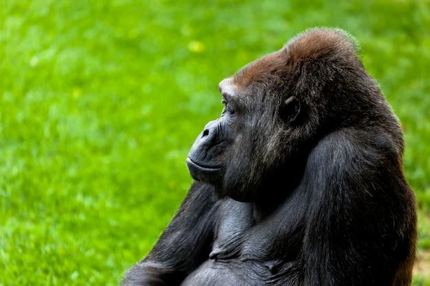Gorilla di costa, gorilla gorilla