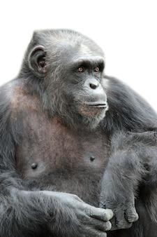 Una seduta della gorilla isolata, isolata