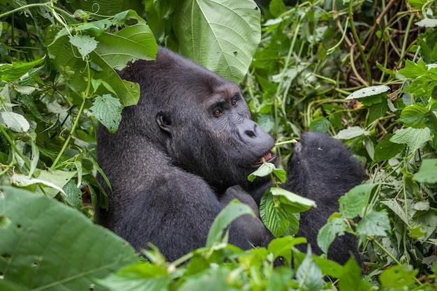 Gorilla nel deserto del parco nazionale della repubblica democratica del congo