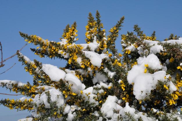 Rami di ginestra coperti di neve