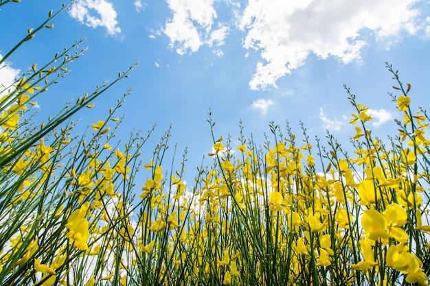 Gorse o genista in primavera con cielo e nuvole