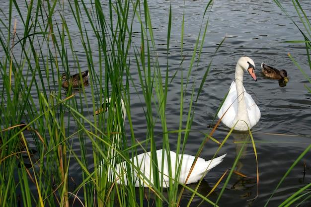 Graziosi cigni bianchi e anatre marroni che galleggiano nell'acqua
