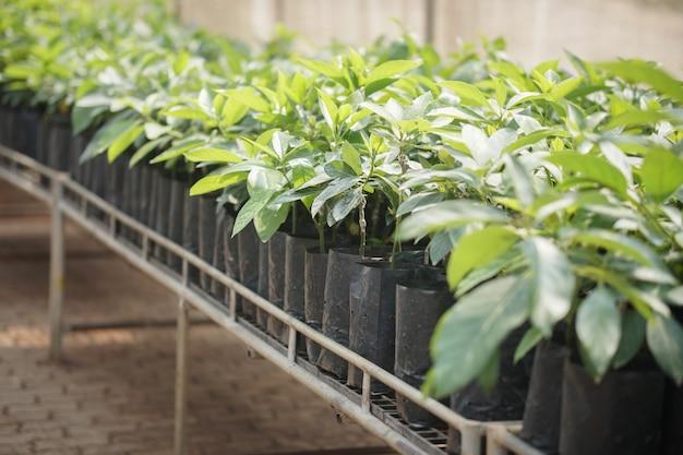 Avocado innestato albero pianta da frutto innesto in vivaio. propagazione degli avocado