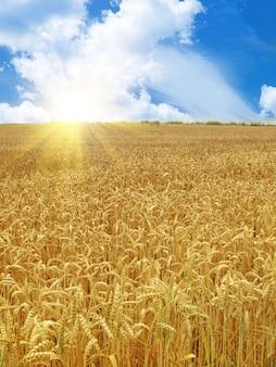 Campo di grano sotto un bel cielo con il sole Foto Premium