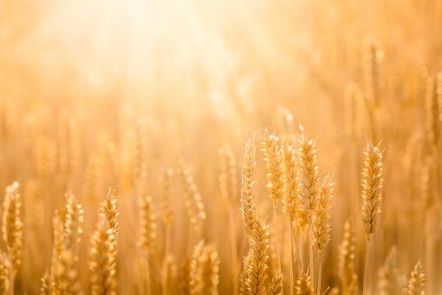 Campo di grano primo piano della natura